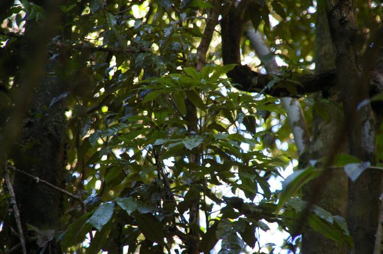Argyrodendron Actinophyllum Subsp. Actinophyllum